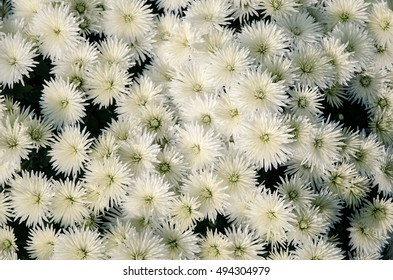 blossoming group of white chrysanthemum flowers