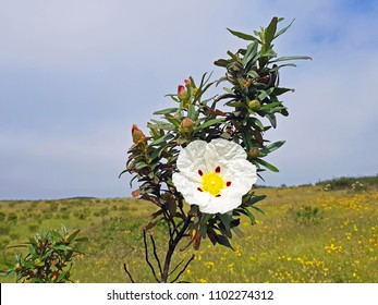 Blossoming gum rock rose - cistus ladanifer in the heath fields from Alentejo in Portugal