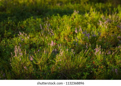 blossoming heather (Callúna vulgáris) in the forest