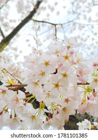 Blossoming Japanese Cherry Blossoms, Spring