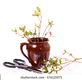 The blossoming Labrador tea branches with pink colors in a ceramic pot. It is isolated on a white background. Near a pot scissors lie