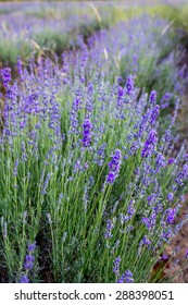 The blossoming lavender in beams of the sunset