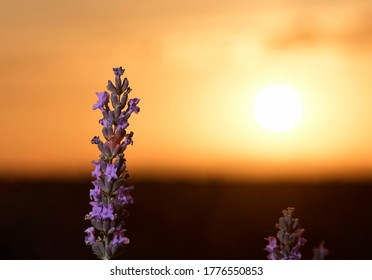 Blossoming lavender branch backlight with the sun disk by side