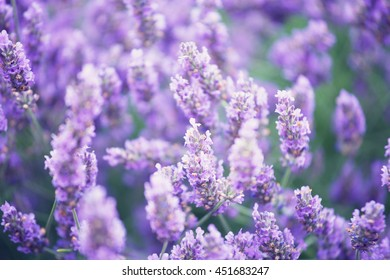 blossoming lavender in the field in summer