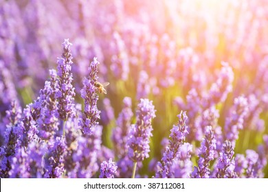 Blossoming lavender at the field in sunshine - Valensole, Provence, France