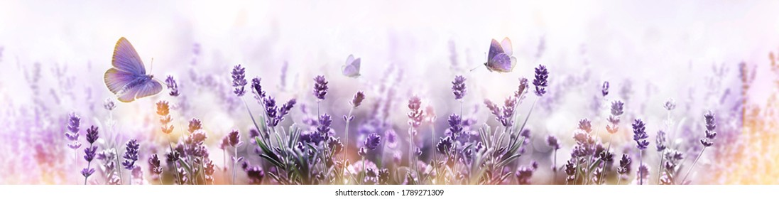 Blossoming Lavender flowers and flying butterfly in summer morning background . Purple growing Lavender panoramic view