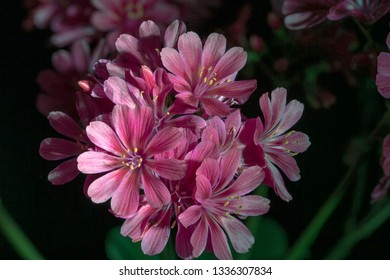blossoming Lewisia flowers