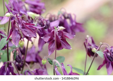 The blossoming Lilac  Aquilegia (columbine) a close up. Aquilegia vulgaris. Ranunculaceae Family.