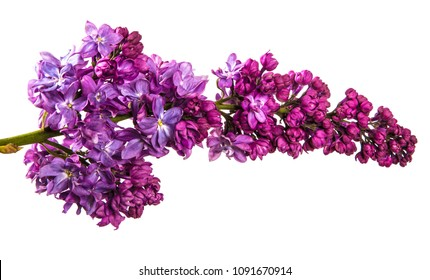 blossoming lilac with purple flowers. Isolated on white background