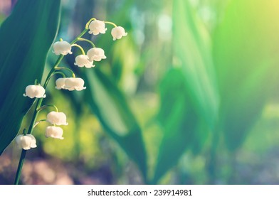 Blossoming lilies of the valley in a sunny forest