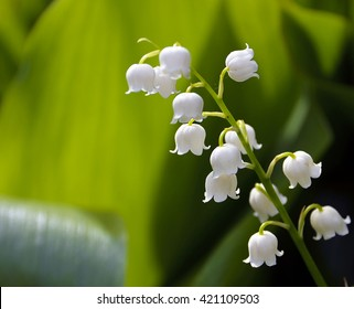 Blossoming lily of the valley in the forest. Lily-of-the-valley.Convallaria majalis.Spring background. Floral background