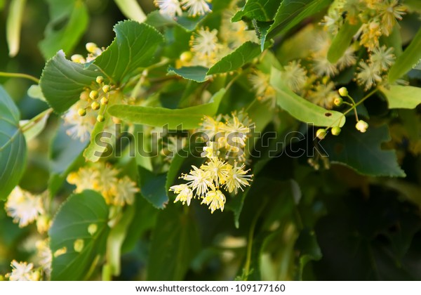 blossoming linden branch in june day