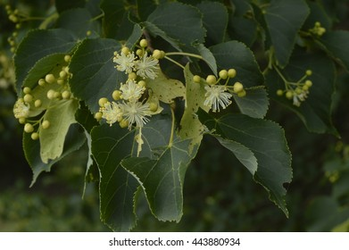 Blossoming linden tree, linden flowers
