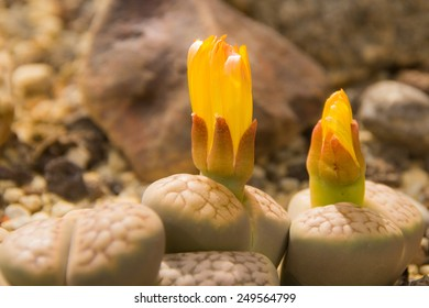 Blossoming Lithops Marmorata