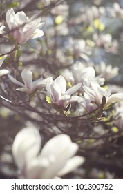 Blossoming of magnolia flowers in spring time, selective focus