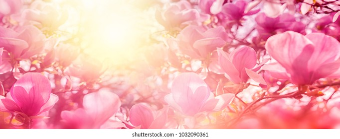 Blossoming of magnolia flowers in sun light backlit, shallow depth. Soft vintage toned. Greeting card template. Nature panorama background.