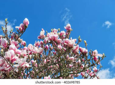 Blossoming of magnolia tree. Spring flowers over blue sky