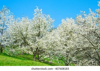 Blossoming magnolia trees in the spring. Kiev, Ukraine