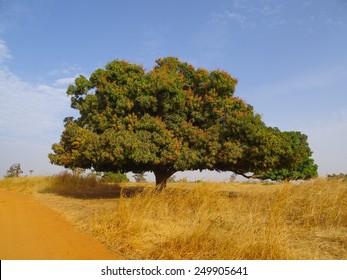 Blossoming mango tree in Senegal