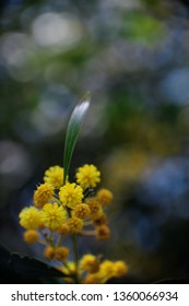 Blossoming of mimosa tree (Acacia pycnantha, golden wattle) close up in spring, bright yellow flowers