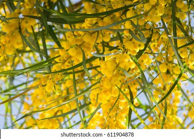 Blossoming of mimosa tree (Acacia pycnantha,  golden wattle) close up in spring, bright yellow flowers, coojong, golden wreath wattle, orange wattle, blue-leafed wattle, acacia saligna