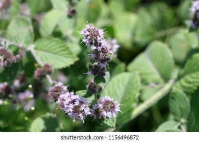 The blossoming mint ( melissa) Close up. Macro. Vegetable background horizontally. Mentha piperata. Peppermint.