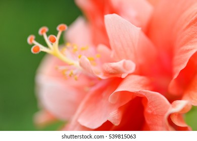 Blossoming orange flower of treelike Hibiscus with two petals on pestle, stamens and leaves