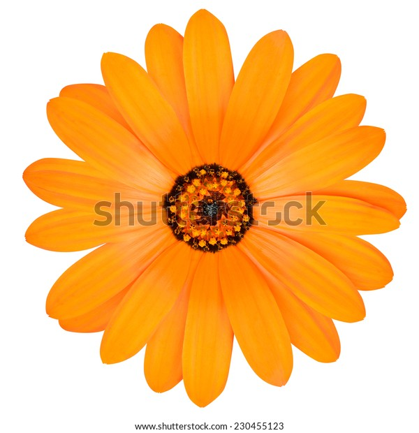 Blossoming Orange Pot Marigold Flower - Beautiful Calendula officinalis in Full Bloom Isolated on White Background.