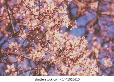 Blossoming orchard. Branches with apricot flowers.