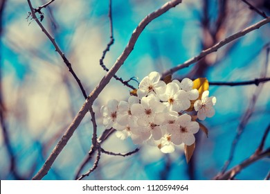 Blossoming orchard. Branches with cherry flowers.