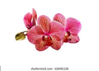 blossoming orchid flower, isolate on white background. Pink phalaenopsis orchid flower