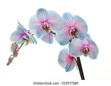 Blossoming orchid phalaenopsis, isolated on white background