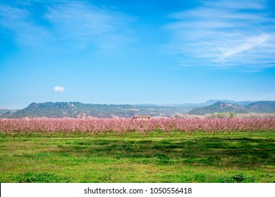 Blossoming peach tree in Benissanet, a beautiful town in Catalonia, Spain. Flowers sprout during the spring and the landscape is transformed.