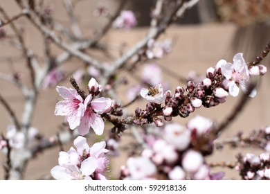Blossoming peach tree branch with honey bee