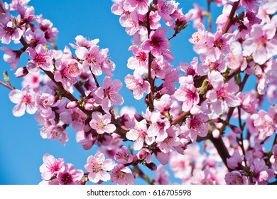 Blossoming peach tree branches, the background blurred