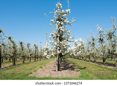 blossoming pear orchard under blue sky with people on bicycle riding on dike near geldermalsen in dutch area Betuwe near Geldermalsen