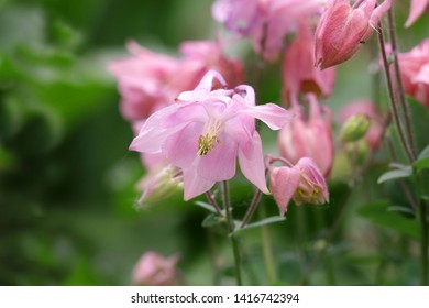 The blossoming Pink Akvilegiya (columbine) in a spring garden a close up. Aquilegia vulgaris. Ranunculaceae Family.