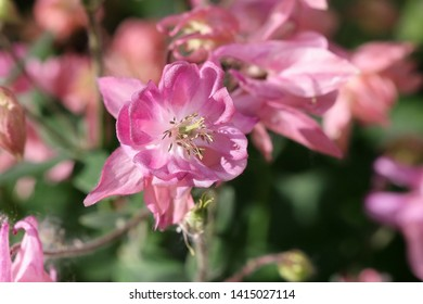 The blossoming Pink Aquilegia (columbine) a close up. Aquilegia vulgaris. Ranunculaceae Family.
