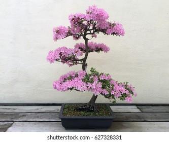 Blossoming pink azalea bonsai tree at the US National Arboretum