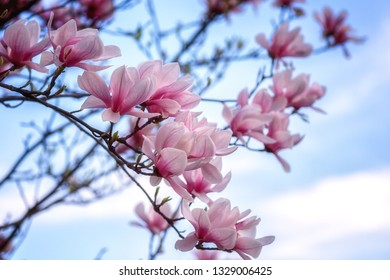 Blossoming pink magnolia flowers against a blue sky background in spring garden, natural wallpaper, macro image with copyspace