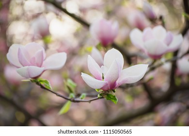Blossoming of pink magnolia flowers in spring time, floral background
