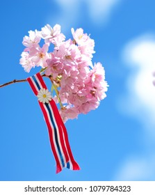 Blossoming pink sacura cherry tree flowers against blue sky background with Norwegian 17'th of may ribbon. Norway's Constitution Day is celebrated on May 17