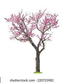 blossoming pink sacura tree isolated on white background