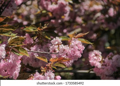 Blossoming pink sakura close up. Beautiful sakura blossom. Tender spring picture. Beautiful pink background. Many blooming pink flowers on the branches of the cherry trees. Beautiful spring sacura. - Shutterstock ID 1733585492