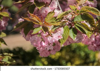 Blossoming pink sakura close up. Beautiful sakura blossom. Tender spring picture. Beautiful pink background. Many blooming pink flowers on the branches of the cherry trees. Beautiful spring sacura.