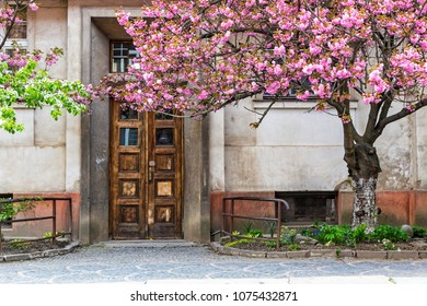 Blossoming pink sakura tree on the streets of Uzhgorod city, Transcarpathia, Ukraine. Sakura can be found in many parts of Uzhgorod, total number of trees is more than 2000