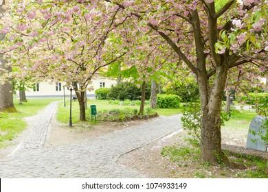 Blossoming pink sakura trees on Uzhgorod city, Ukraine.