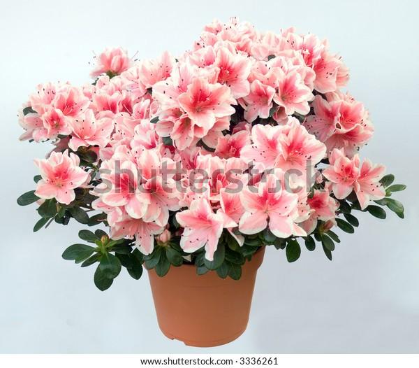Blossoming plant of azalea (pink flowers) in flowerpot