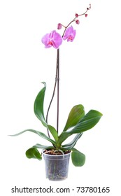 Blossoming plant of orchid in flowerpot isolated on white