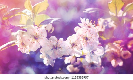 Blossoming  plum, flowering  plum. Close up. Spring solar background, photo wallpaper. Soft focus, toning.